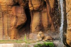 Löwe und Wasserfall (horizontal) Stockbild