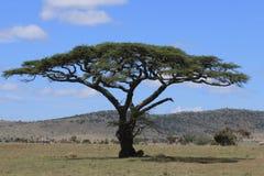 Löwe unter Baum Stockbild