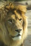 Löwe (vertikal) Stockfotografie