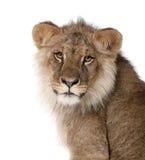 Löwe vor einem weißen Hintergrund lizenzfreies stockbild