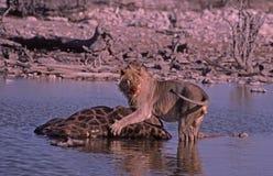 Löweabbruch, Etosha Park, waterhole, Namibia Stockfotografie