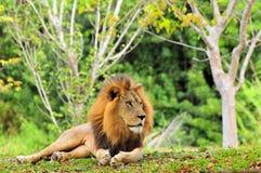Löweaufstellung Lizenzfreie Stockbilder