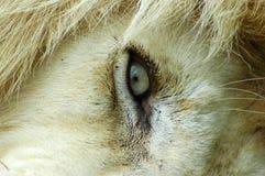 Löweauge lizenzfreie stockbilder