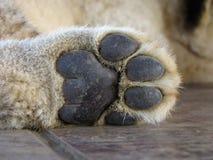 Löwecubs Tatze Lizenzfreie Stockfotos