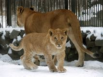 Löwefamilie lizenzfreie stockfotografie