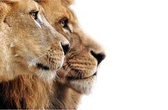 Löwefamilie, die im Gras liegt Stockfotos