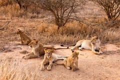 Löwefamilie, die im Gras stillsteht Lizenzfreies Stockbild