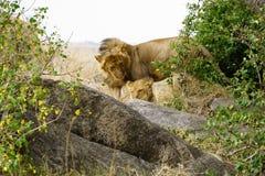 Löwefamilie in Serengeti lizenzfreies stockbild
