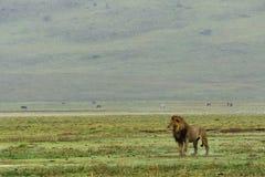 Löwefamilie in Serengeti stockbild