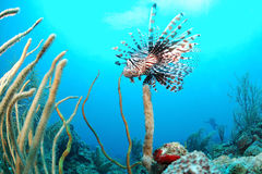 Löwefische und Korallenriff Lizenzfreies Stockbild