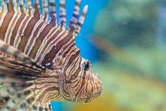 Löwefischschwimmen im Aquarium Stockfotografie