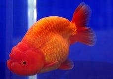Löwehauptgoldfische Stockfotografie