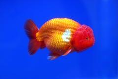Löwehauptgoldfische Lizenzfreies Stockfoto