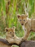 Löwejunge, die auf der Gnukarkasse aufwerfen Stockfoto