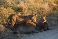 Löwejunge, die auf Gnukarkasse, Kenia einziehen Stockfoto