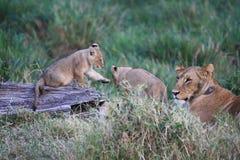 Löwejunge durch Mama Stockbild