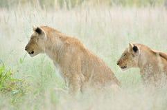 Löwejunge im Kalahari Lizenzfreie Stockbilder