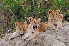 Löwejunge in Ol Kinyei, Masai Mara lizenzfreie stockbilder