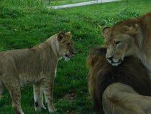 Löwejunges, das mit männlichem Löwe und Löwin spielt Stockfoto