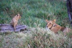 Löwejunges, das seine Mutter aufpasst Stockbilder