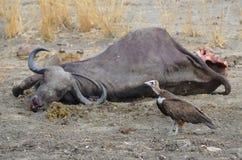 Löwejunges mit einer Tötung stockfotografie
