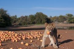 Löwejunges mit Pampelmuse in Afrika Stockfotografie