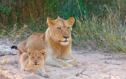 Löwejunges (Panthera Löwe) in einem Stolz Stockfotos