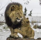 Löwejunges und -erwachsener stockfotografie