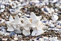 Löweknochen des Welpen junge See Stockfotos