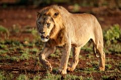 Löwemann in Südafrika lizenzfreie stockfotos