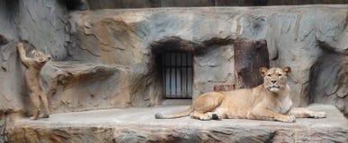 Löwemutter mit kleinem Löwebaby im Zoo lizenzfreies stockbild