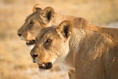 Löwen stockfoto