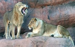 Löwen Lizenzfreies Stockfoto