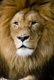 Löwen Lizenzfreie Stockfotografie