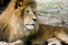 Löwen Lizenzfreie Stockbilder