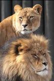Löwen Stockfotografie