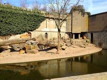 Löwen an Artis-Zoo Lizenzfreies Stockfoto
