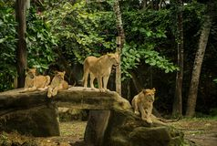 Löwen auf den Felsen stockbild