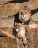 Löwen auf der Leiste lizenzfreies stockbild