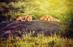 Löwen auf Felsen auf Savanne am Sonnenuntergang. Safari in Serengeti, Tanzania, Afrika Lizenzfreies Stockbild