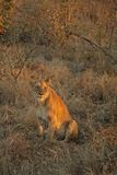 Löwen auf Safari, Sabie Sande stockfoto