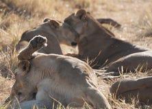 Löwen, Botswana Lizenzfreie Stockfotos