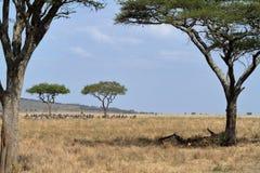 Löwen in der Serengeti-Savanne lizenzfreies stockfoto