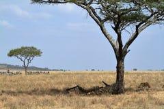 Löwen in der Serengeti-Savanne lizenzfreie stockfotos