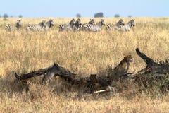 Löwen in der Serengeti-Savanne lizenzfreie stockbilder