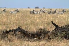 Löwen in der Serengeti-Savanne stockfotografie
