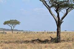 Löwen in der Serengeti-Savanne lizenzfreie stockfotografie