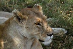 Löwen in der Serengeti-Savanne stockbilder