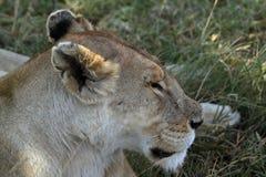 Löwen in der Serengeti-Savanne stockfoto