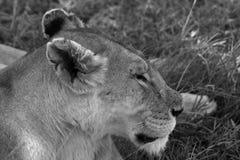 Löwen in der Serengeti-Savanne stockbild